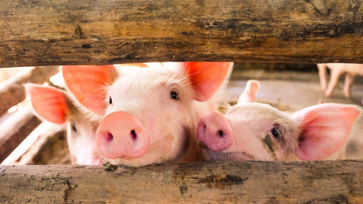 Annual Badger Swine Symposium Happening November 5th