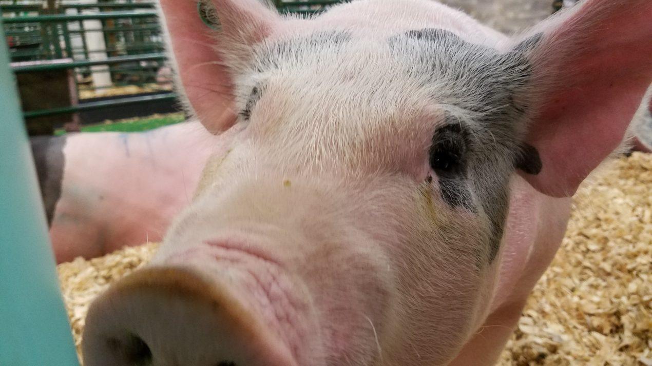 WPA Seeking Youth Pig Project Sponsors