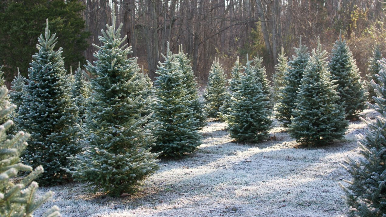 Alice in Dairyland to Usher in Christmas Tree Season With Virtual Tree-Cutting Nov. 18