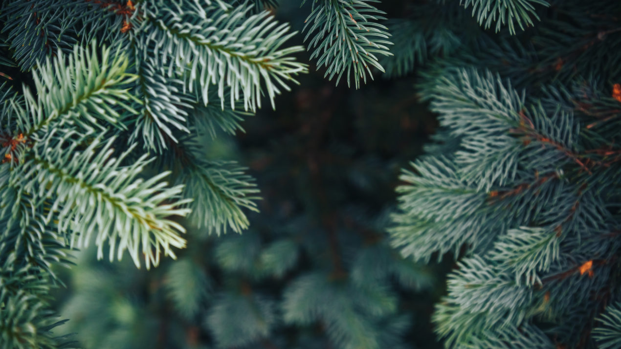 Buy Local Evergreens to Avoid Invasive Plant Pests in Your Holiday Decorations