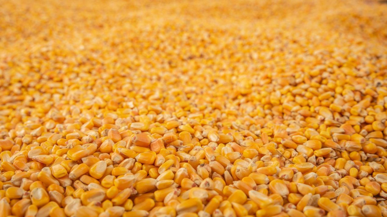 State's Corn Forecast Exceeds 500 Million Bushels