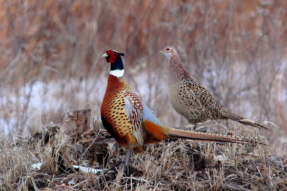 Pheasant Stocking Provides Additional Hunting Opportunities This Holiday Season