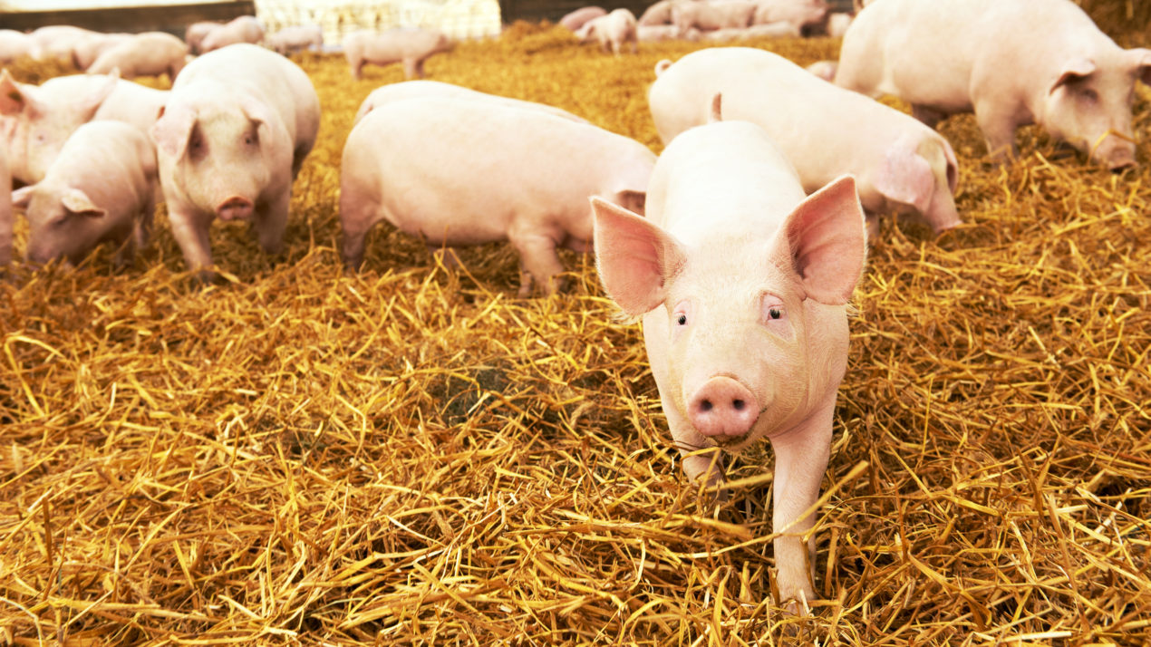 Wisconsin Has 400,000 Hogs and Pigs