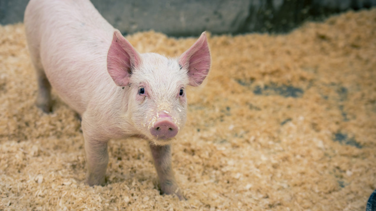 Youth Pig Project Scholarships Offered by WI Pork Association