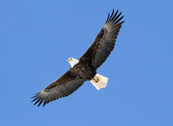 Eagle Watching Goes Virtual