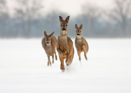 Public Asked to Help Shape Deer Management in State