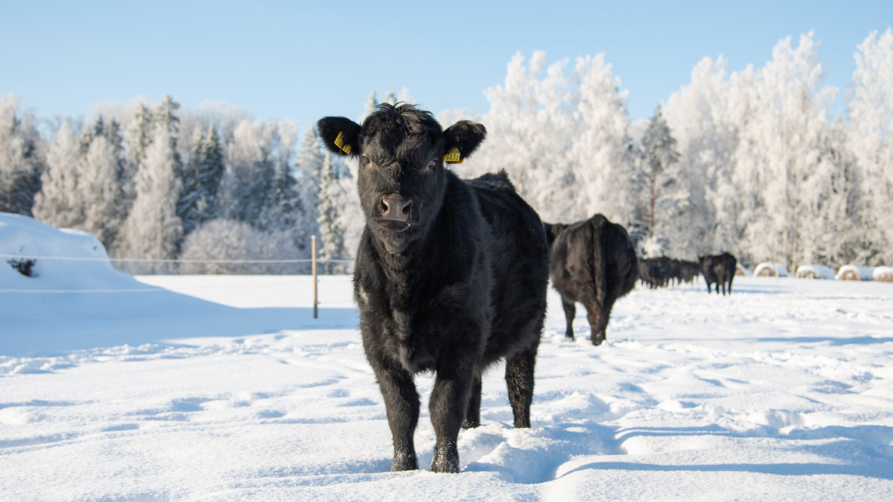 Cold Weather Causes Slower Runs at Cattle Markets