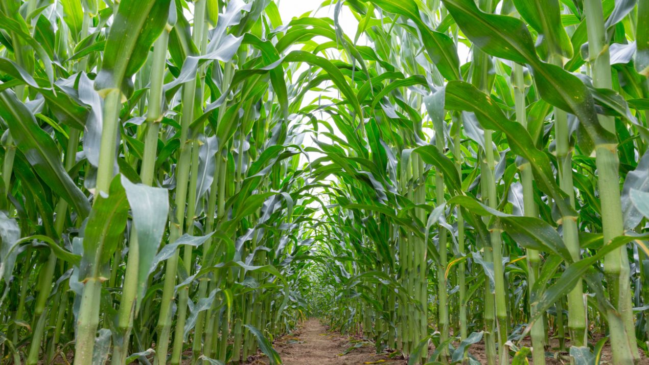 Corn Growers Add New Faces