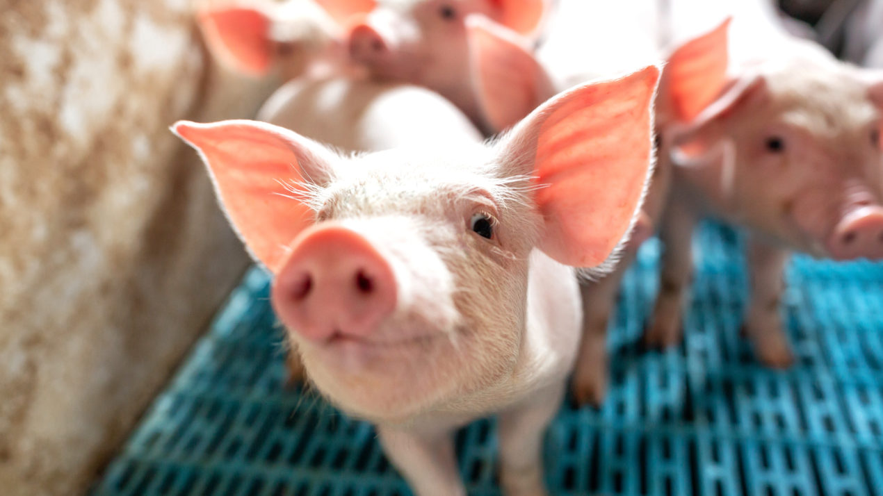 Pork Industry Happy to See Federal Support with Covid-19 Vaccination Efforts