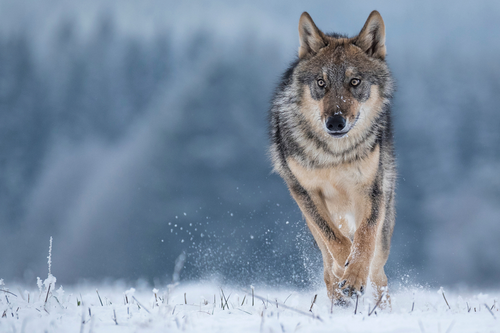 Potential Wolf Hunt Forces Special Meeting