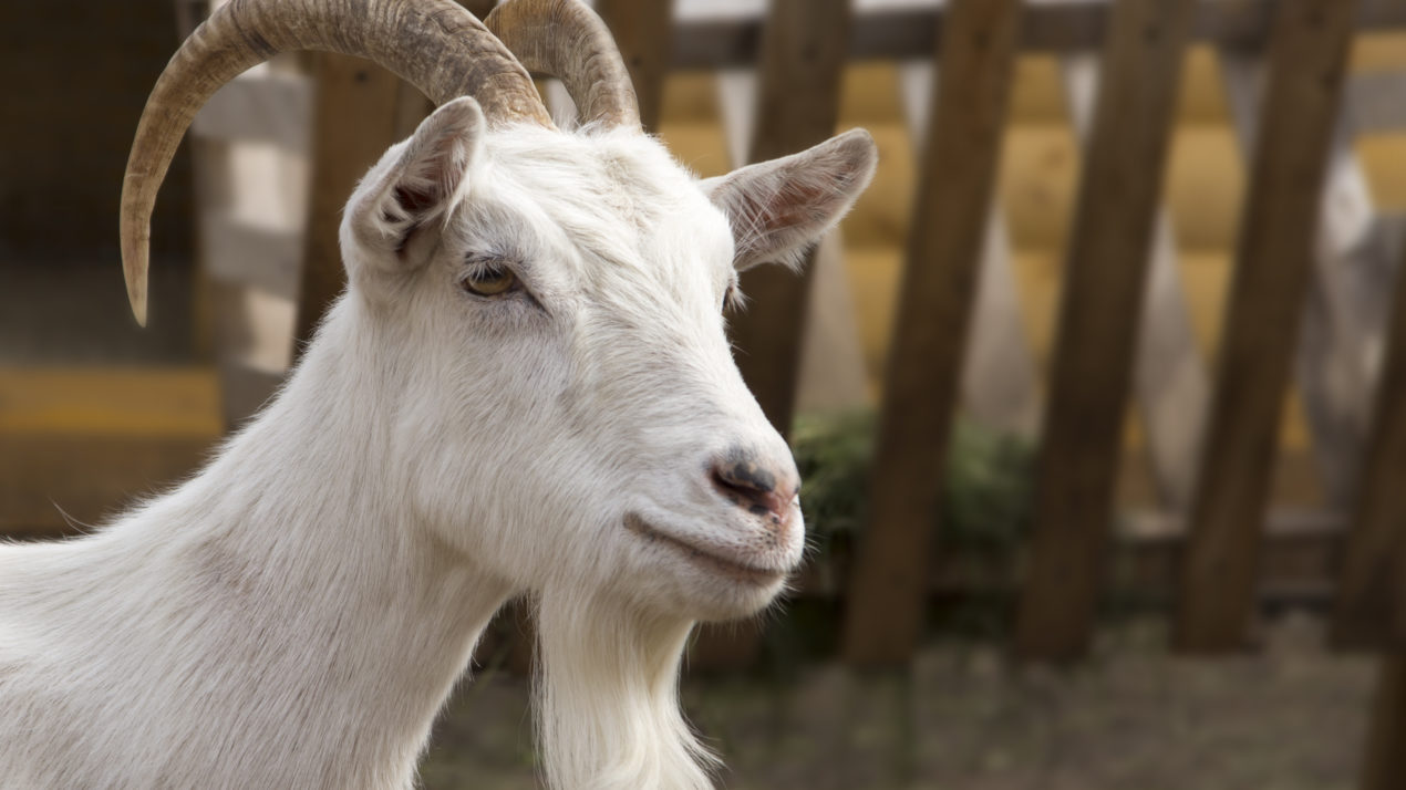Wisconsin Continues to Lead Nation in Milking Goats