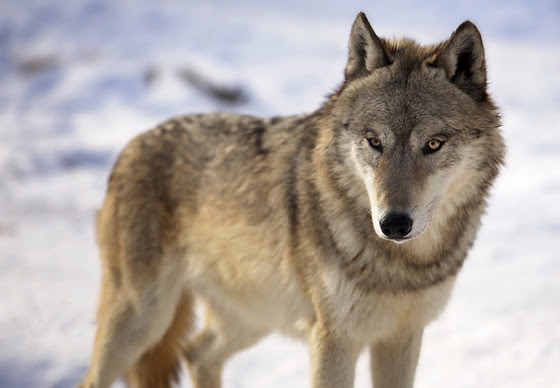 Wolf Hunt Is On For February