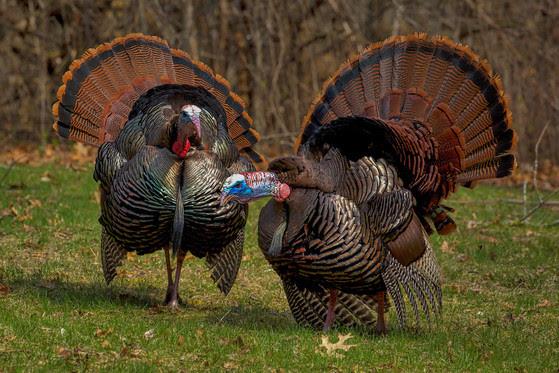 Bonus Harvest Authorizations For Spring Turkey Season Available Beginning March 15