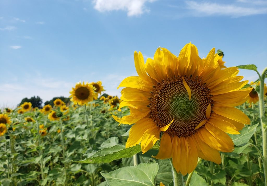 Sunflowers – More Than Just A Backdrop