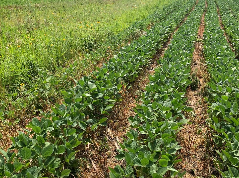 Survey Shows Soybean Growing Patterns