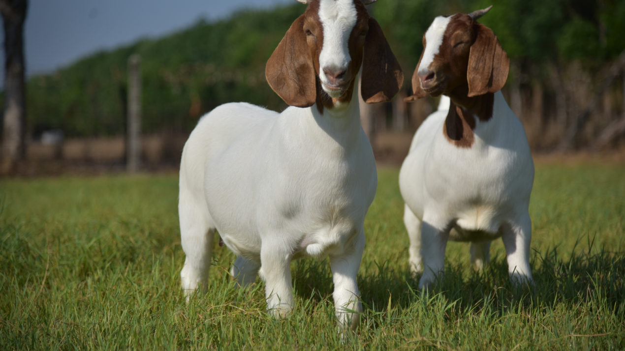 Wisconsin Meat Goat Association Eager to Serve Members