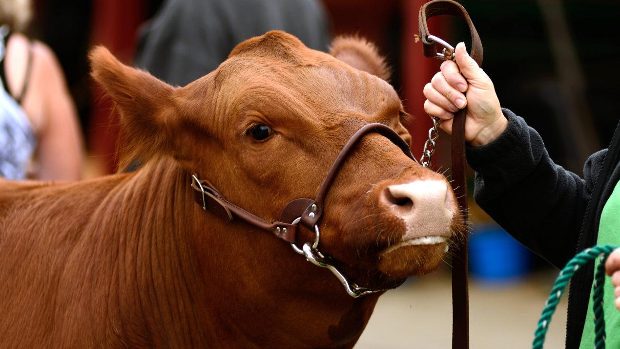 Celebrating Wisconsin 4-H Beef Exhibitors