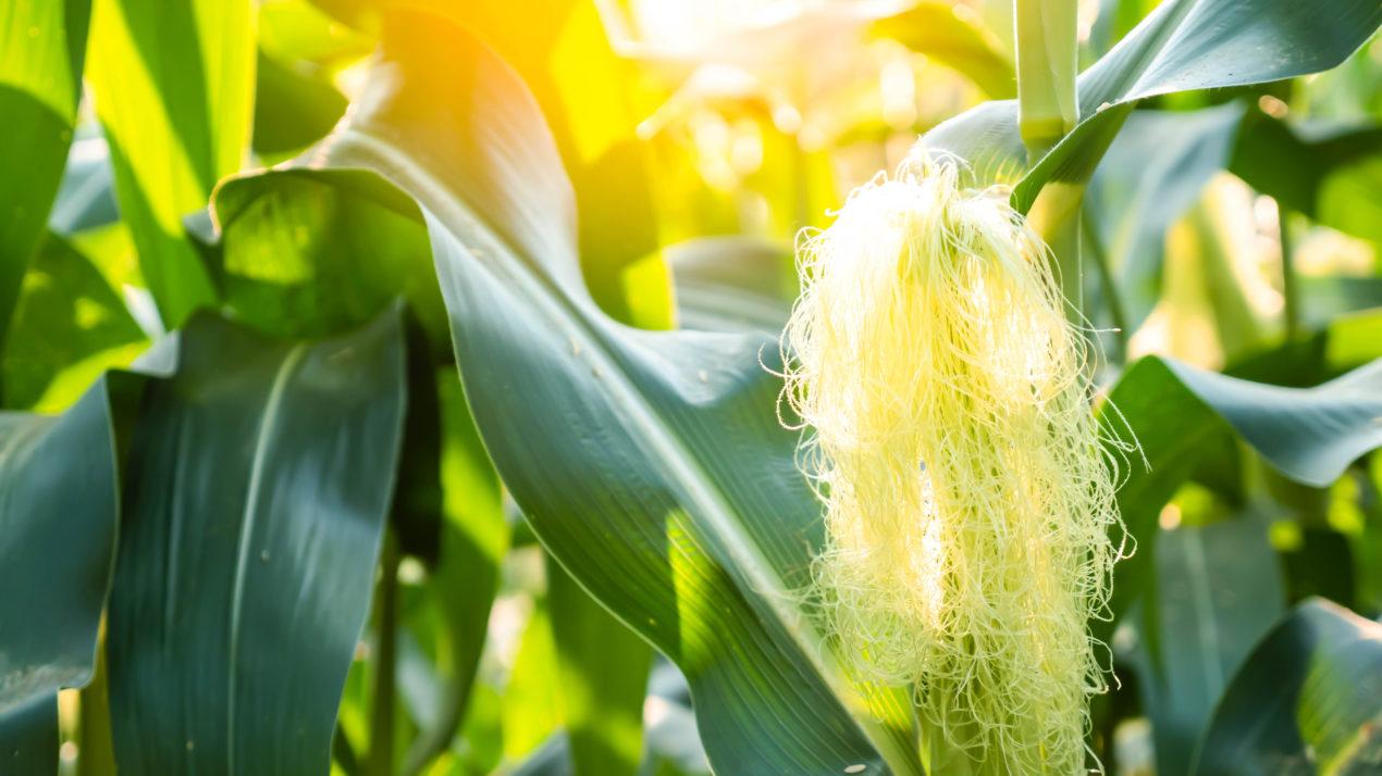 Crops Progress Despite Dry Conditions