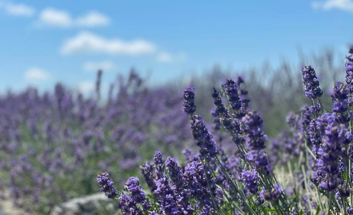 Lavender Has Many Uses