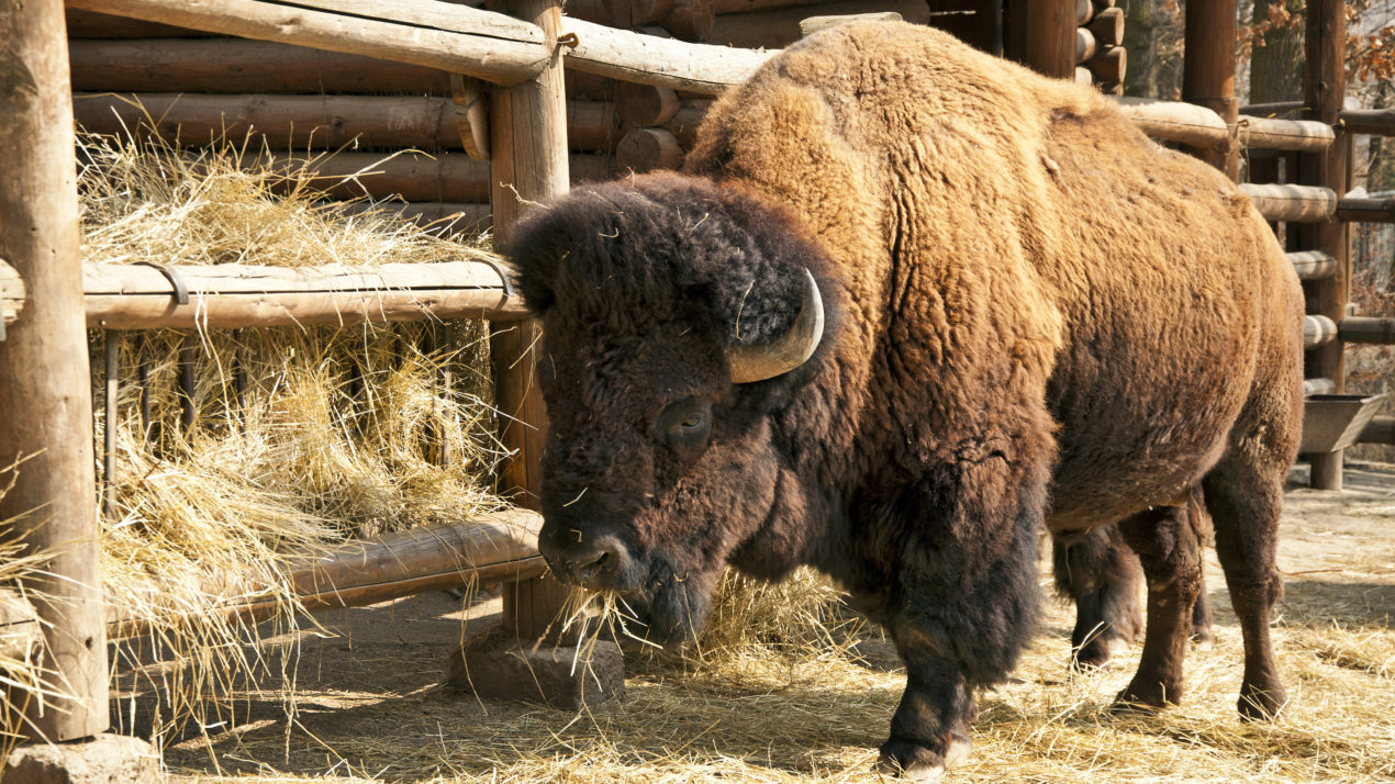 Bison Producers To Host Conference