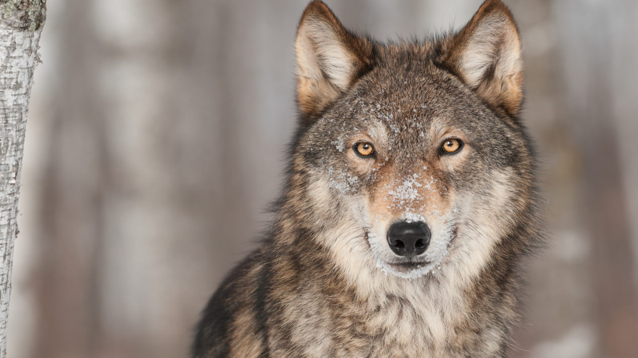 Groups Sue Over November Wolf Hunt